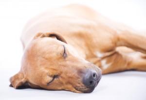 http://www.dreamstime.com/stock-image-rhodesian-ridgeback-3-years-sleeping-image23365351